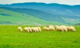 Sheep Return to City Open Space, Pet Owners Required to Leash Dogs Near Herd